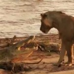 ライオン vs ワニ 陸上戦
