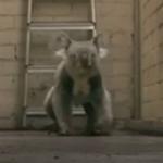 廊下をノシノシ歩くコアラ