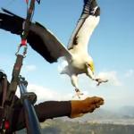 大空を鷹とフライング、Parahawking(パラホーキング)