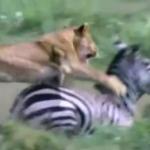 肉食動物の芸術的な狩りの映像TOP10