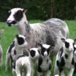 パンダ模様の羊の子7匹