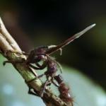 冬虫夏草の餌食になる虫