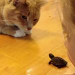 カメの赤ちゃんに興味津々な猫