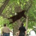 大学のキャンバスの木に登る熊に麻酔の矢を撃ちこんで保護