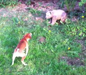 熊に戦いを挑むワンコ