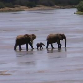 途中でへこたれながらも大きな川を渡るゾウの赤ちゃん
