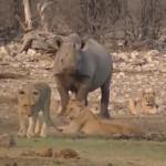 にらみ合う一頭のサイとライオンの群れ