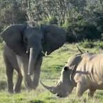シロサイ vs アフリカゾウ 超ヘビー級対決動画