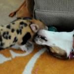 ビーグル犬 vs. 子豚