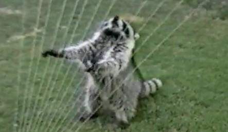 スプリンクラーで遊ぶアライグマ
