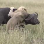 アフリカ水牛を襲う雄ライオンが頭突きで撃退される