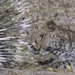 ヒョウ vs ヤマアラシ