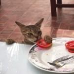 残り物のトマトを盗むネコ