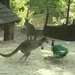 雄のクジャクを追い回すカンガルー