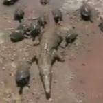 亀に囲まれるワニ