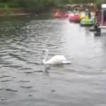 池のカモが気に入らない白鳥