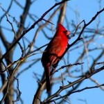 ショウジョウコウカンチョウ(猩々紅冠鳥)の鳴き声