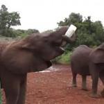 象の孤児院、大きなボトルに入ったミルクを飲むゾウ