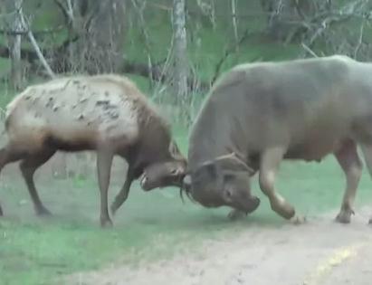 ワピチ(アメリカアカシカ) vs. バッファロー