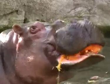ハロウィーンのカボチャを噛み砕いて食べるカバ