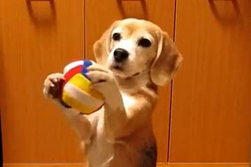 ボールキャッチに挑戦するスーパービーグル プリンちゃん