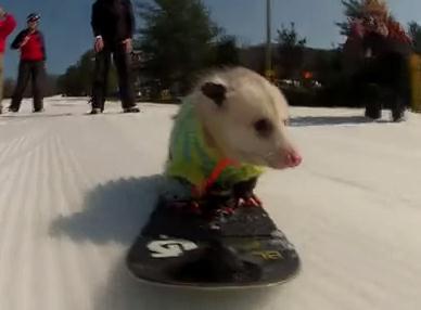 スノーボードを楽しむオポッサム