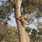 木の高いところまで登るライオンの赤ちゃん