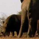 ゾウ vs. シロサイ 動かないサイ