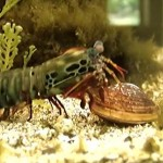 打撃でアサリの貝殻を破壊するモンハナシャコ