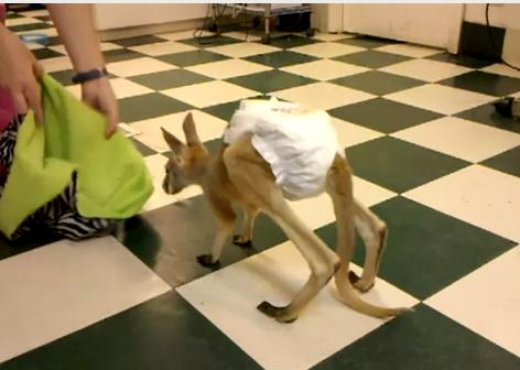 おむつを履いた赤ちゃんカンガルーの捕獲
