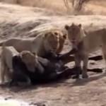 ライオンに襲われたアフリカ水牛、遅すぎた仲間の救出