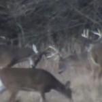 鹿のオス同士のぶつかり合いで、角がポロリと落ちる