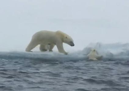 氷に上がれないホッキョクグマの赤ちゃんを助ける母