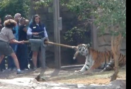 トラと綱引きができるフロリダのブッシュガーデンズ