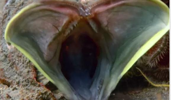 貝の中から出てきた巨大な口を持つ魚
