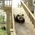 遊具で遊ぶパンダの子供たちのとても楽しそな映像