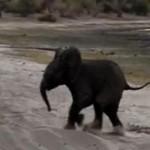 くしゃみをする象の赤ちゃん