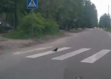 鳩「横断歩道では歩行者優先です」