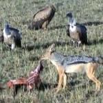 ジャッカル vs. ハゲワシの群れ