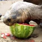 スイカを食べるカメ