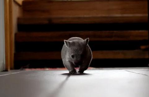 廊下を走るウォンバットの赤ちゃん