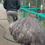男の背後について回る灰色の巨大な鳥