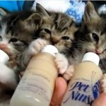ミルクを飲むカワイイ3匹の子猫