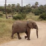 道路を渡る3頭の象。3番目に横断する象に注目!