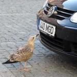 自動車のバンパーに付着した虫を食べる賢い鳥