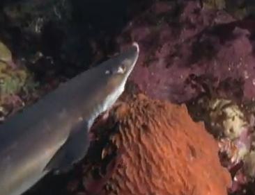 タコ vs. サメ
