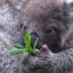 ユーカリの葉っぱに興味を持ち始めるコアラの赤ちゃん