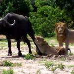 目の前に獲物がいても狩りの手伝いをしない雄ライオン