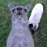 元気に遊びまわるカンガルーとキツネザル
