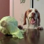 キャベツを盗み食うビーグル犬